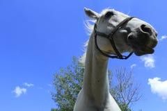 Cabeza de caballos blancos imagen de archivo