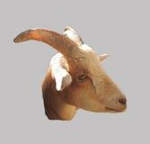 Cabeza de cuernos de la cabra aislada Foto de archivo libre de regalías
