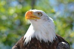 Cabeza de Eagle Foto de archivo libre de regalías