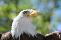 Cabeza de Eagle Imágenes de archivo libres de regalías