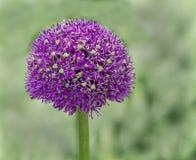 Cabeza de flor de la cebolla púrpura Fotos de archivo