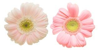 Cabeza de flor de la margarita de Transvaal Imágenes de archivo libres de regalías