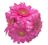 Cabeza de flor de la margarita de Transvaal Foto de archivo