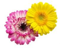 Cabeza de flor de la margarita de Transvaal Fotos de archivo libres de regalías