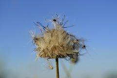Cabeza de flor de sequía del cardo fotografía de archivo
