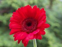 Cabeza de flor del cultivar rojo del Gerbera, en el fondo verde imagen de archivo