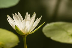 Cabeza de flor del lirio de agua blanca Imagen de archivo libre de regalías