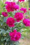 Cabeza de flor magenta de la peonía en jardín con verde imagen de archivo libre de regalías