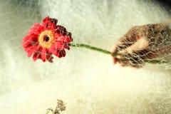 Cabeza de flor roja del gerbera a disposición, cubierta con la red de pesca foto de archivo