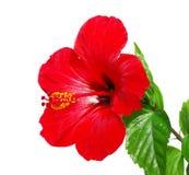 Cabeza de flor roja del hibisco Imagen de archivo libre de regalías