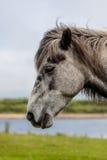 Cabeza de Gray Horse foto de archivo libre de regalías
