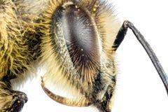 Cabeza de la abeja de la miel Imagen de archivo