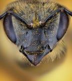 Cabeza de la abeja de la miel Fotografía de archivo