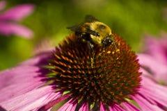 Cabeza de la abeja en la taza del cierre de la flor del Echinacea Imagenes de archivo