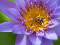 Cabeza de la abeja que chupa de Lotus púrpura Foto de archivo libre de regalías