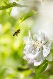 Cabeza de la abeja y de flor Foto de archivo libre de regalías