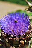 Cabeza de la alcachofa con la flor en la floración con una abeja Imágenes de archivo libres de regalías