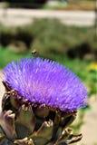 Cabeza de la alcachofa con la flor en la floración con una abeja Foto de archivo