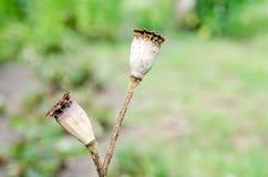 Cabeza de la amapola Fotografía de archivo libre de regalías
