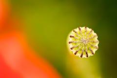 Cabeza de la amapola con un pétalo rojo que florece alrededor Fotografía de archivo libre de regalías