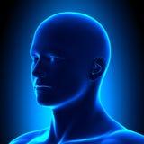 Cabeza de la anatomía - ISO vea el detalle - concepto azul Imágenes de archivo libres de regalías