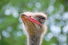 Cabeza de la avestruz Foto de archivo libre de regalías