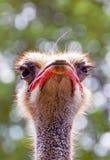 Cabeza de la avestruz Imagen de archivo libre de regalías