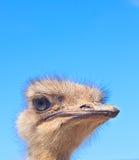 Cabeza de la avestruz en fondo del cielo azul Fotos de archivo libres de regalías
