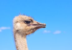Cabeza de la avestruz en fondo del cielo azul Imágenes de archivo libres de regalías