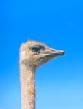 Cabeza de la avestruz en fondo del cielo azul Fotografía de archivo