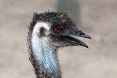 Cabeza de la avestruz en perfil Fotos de archivo