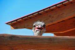 Cabeza de la avestruz en una granja Imagen de archivo libre de regalías