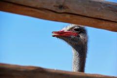 Cabeza de la avestruz en una granja Foto de archivo libre de regalías