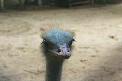 Cabeza de la avestruz de la gama cercana fotografía de archivo libre de regalías