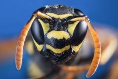 Cabeza de la avispa s en cierre para arriba Imagen de archivo libre de regalías