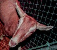 Cabeza de la cabra imagen de archivo