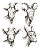 Cabeza de la cabra ganado pasto animal bosquejo dibujado a mano stock de ilustración