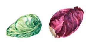 Cabeza de la col roja y verde Pintura dibujada mano de la acuarela libre illustration
