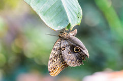 Cabeza de la ejecución de Owl Butterfly (eurilochus de Caligo, Bananenfalter) abajo en una hoja Fotos de archivo