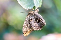 Cabeza de la ejecución de Owl Butterfly (eurilochus de Caligo, Bananenfalter) abajo en una hoja Foto de archivo