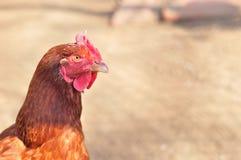 Cabeza de la gallina marrón Imagenes de archivo
