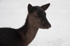 Cabeza de la hembra de los ciervos de Brown Imagen de archivo libre de regalías