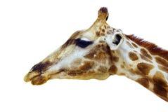 Cabeza de la jirafa Fotografía de archivo libre de regalías