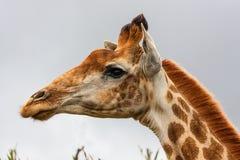 Cabeza de la jirafa Foto de archivo