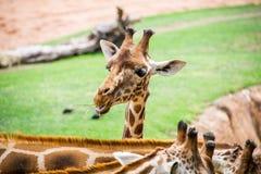 Cabeza de la jirafa Fotos de archivo