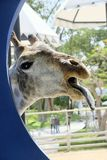 Cabeza de la jirafa Imagenes de archivo