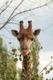 Cabeza de la jirafa Fotografía de archivo