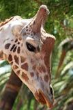 Cabeza de la jirafa Imágenes de archivo libres de regalías