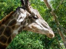 Cabeza de la jirafa Imagen de archivo libre de regalías