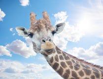 Cabeza de la jirafa agradable contra el cielo Fotos de archivo